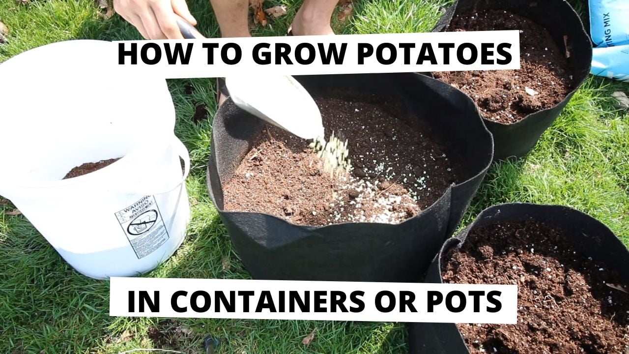 How to Grow Potatoes in Containers or Pots