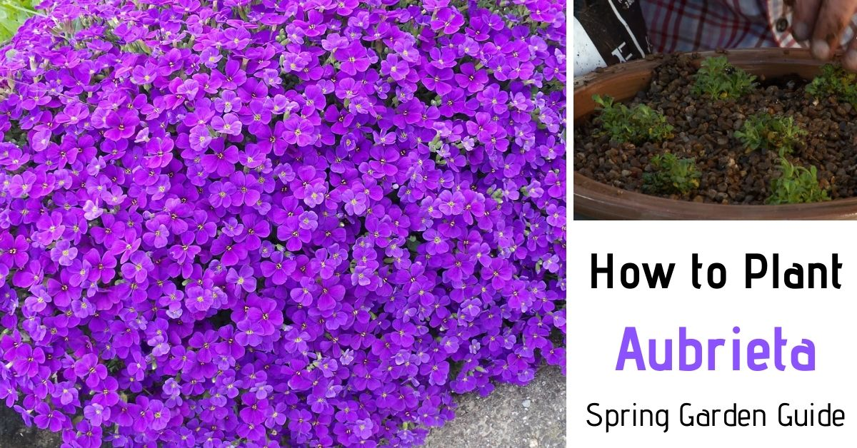 How to Plant Aubrieta Step by Step [Spring Garden Guide]