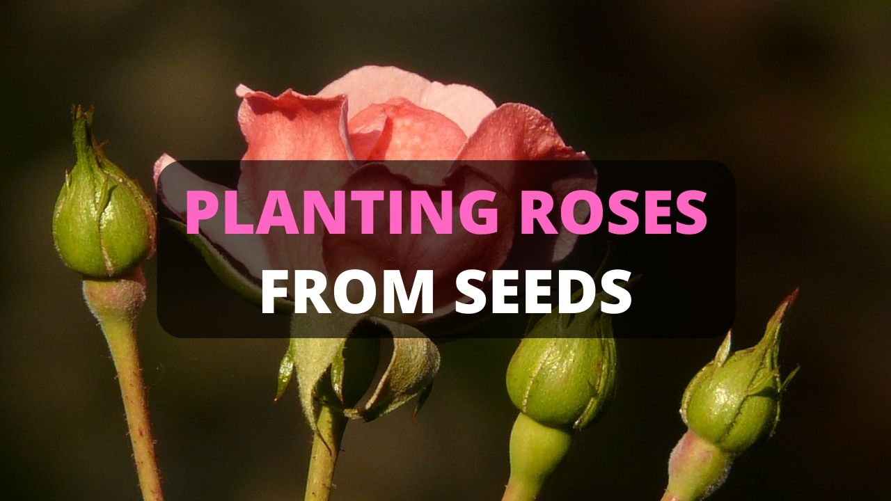 Planting Roses from Seeds [Start to Finish]