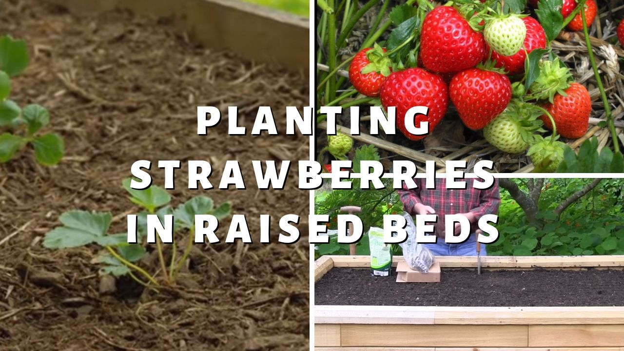 Planting Strawberries in Raised Beds