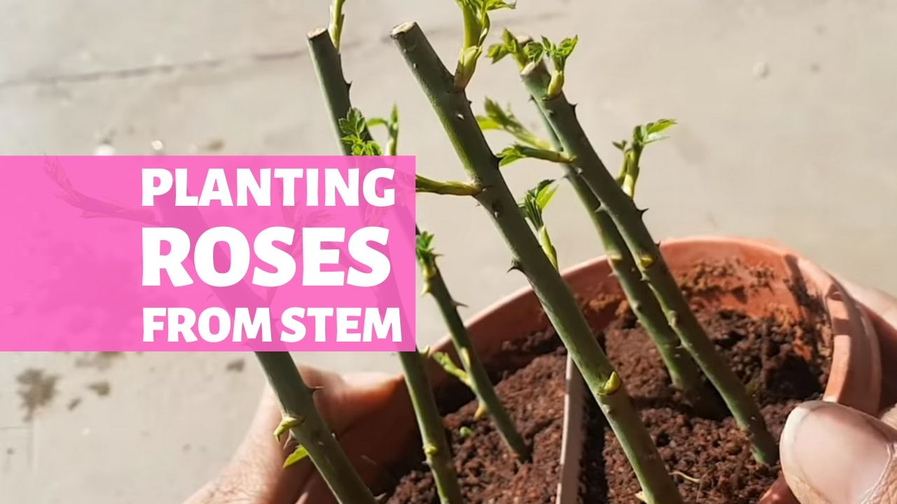 Planting Roses from Stem [Day by Day]