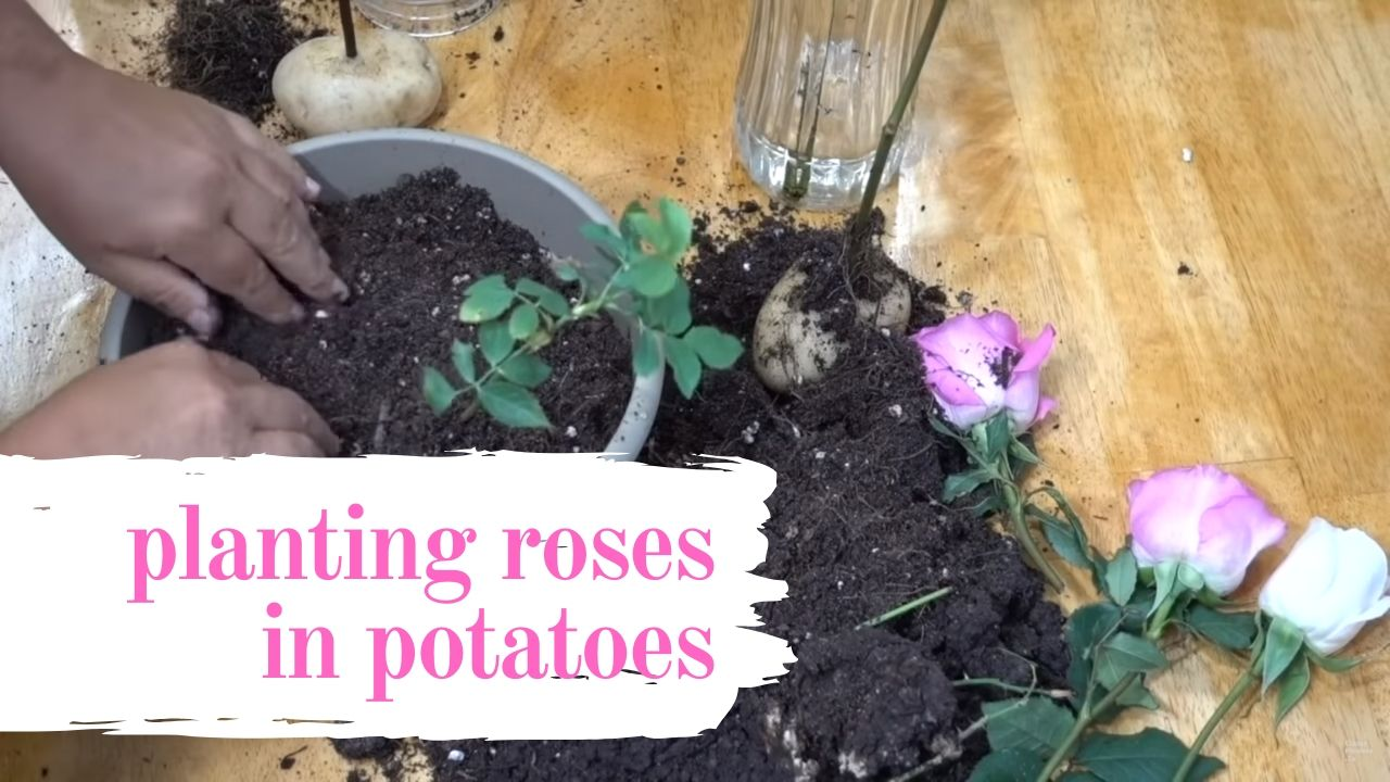 Planting Roses in Potatoes [Step by Step]