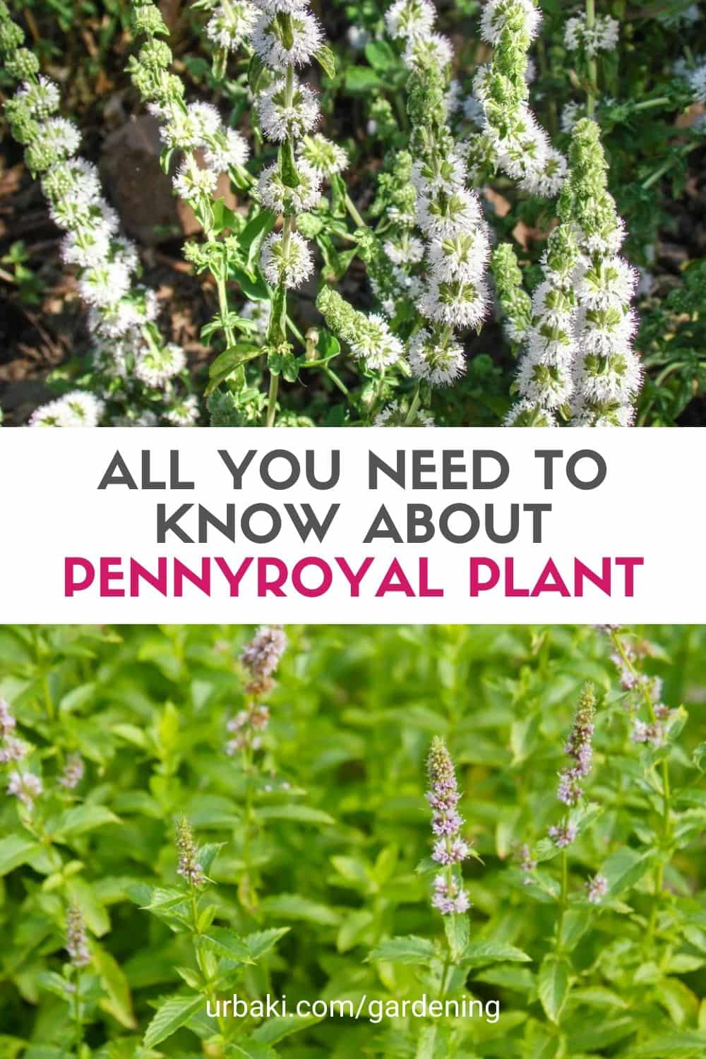 All You Need To Know about Pennyroyal Plant