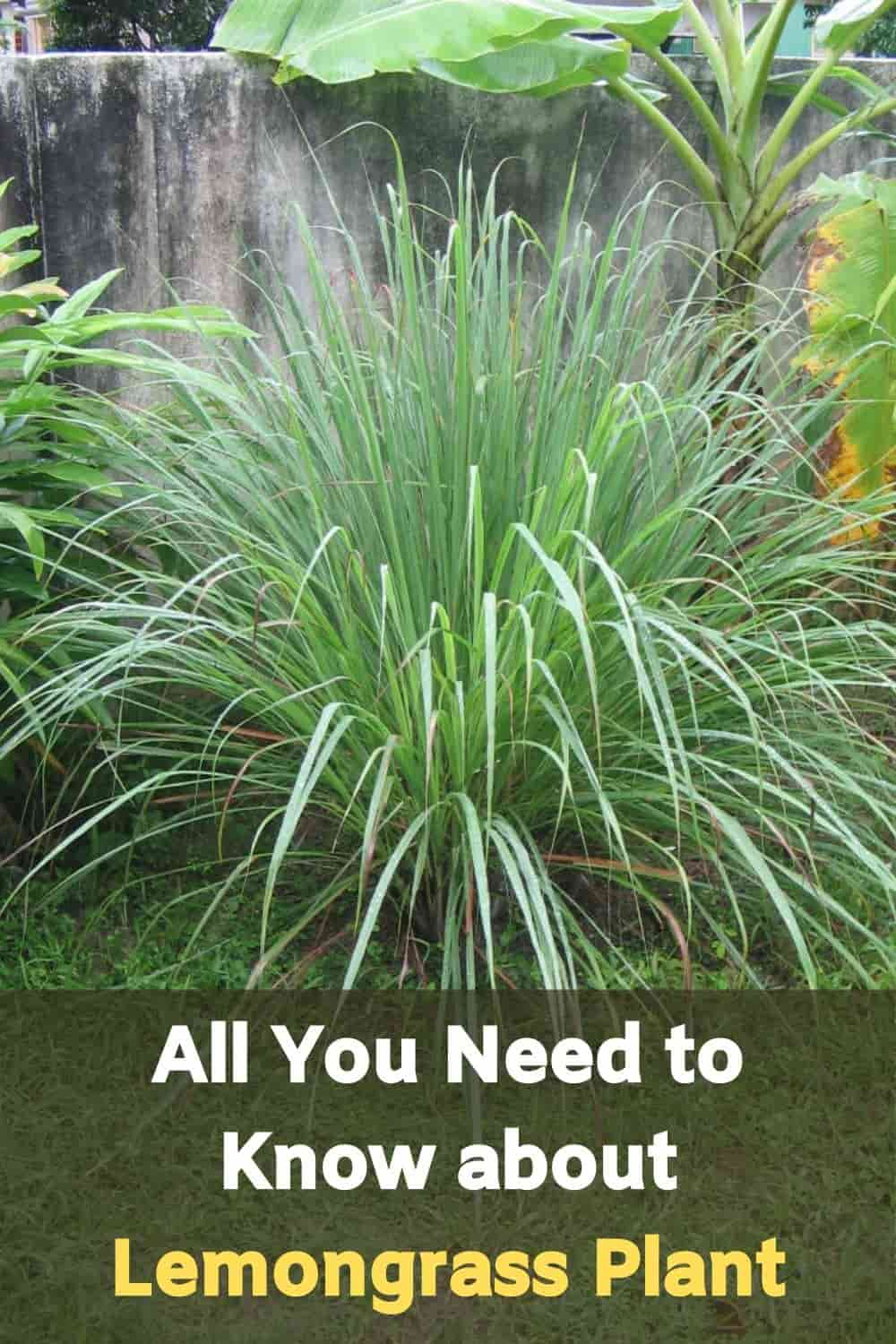 All You Need to Know about Lemongrass Plant