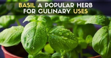 Basil a Popular Herb for Culinary Uses