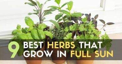 Best Herbs That Grow in Full Sun