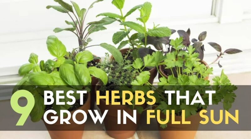 Best Herbs That Grow in Full Sun