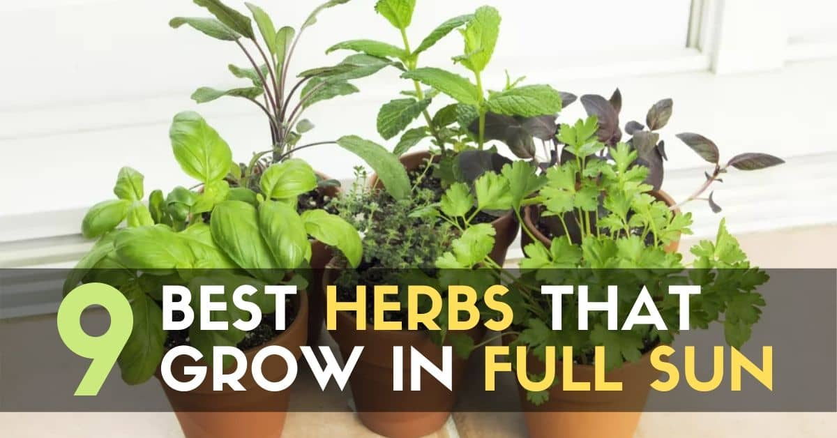 9 Best Herbs That Grow in Full Sun