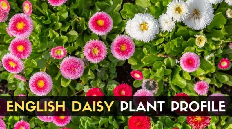 English Daisy Plant Profile