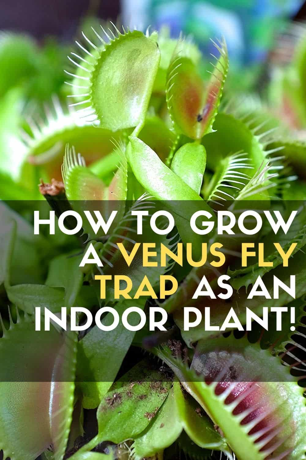 How to Grow a VENUS FLY TRAP as an Indoor Plant