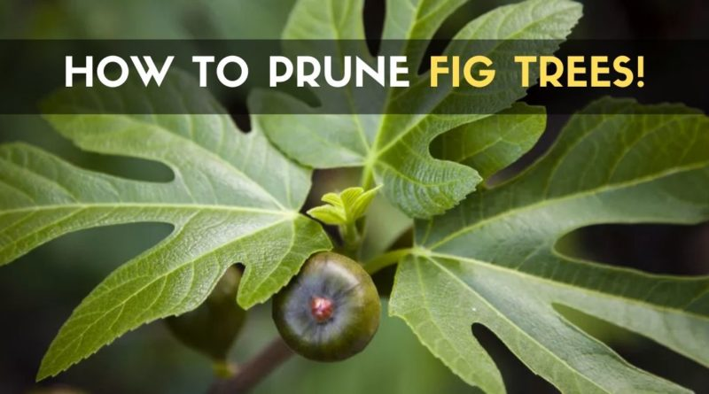 How to Prune Fig Trees!