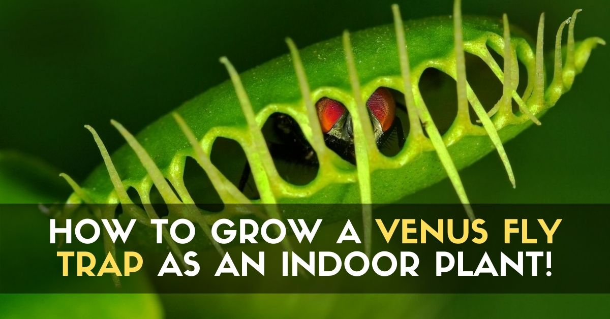 How to Grow a VENUS FLY TRAP as an Indoor Plant!