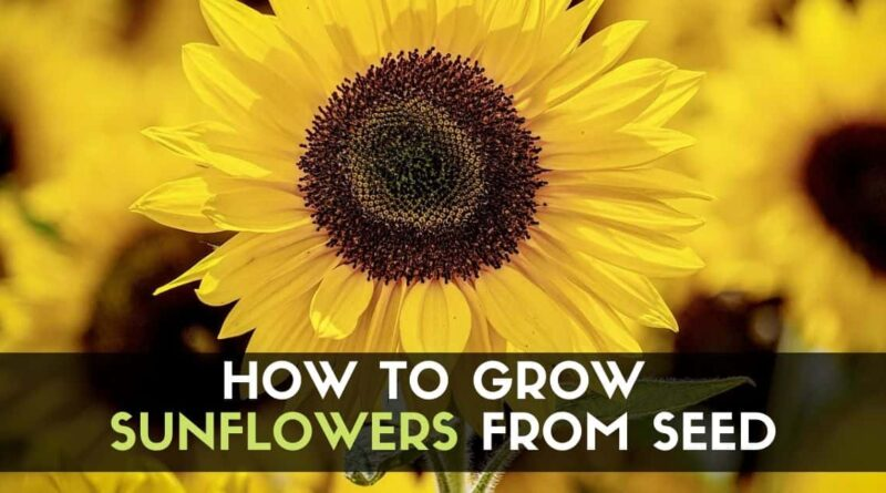 How to Grow Sunflowers from Seed