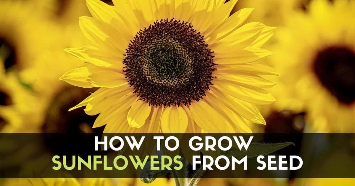 How to Grow Sunflowers from Seed!