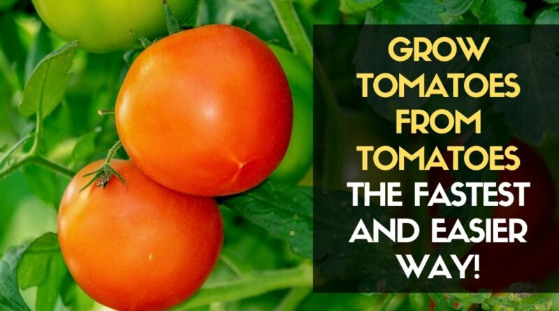Grow Tomatoes from Tomatoes the Fastest and Easier Way!