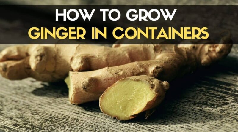 How to Grow Ginger in Containers-min