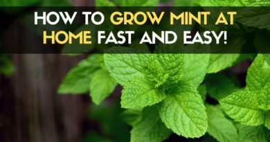 How to Grow Mint at Home Fast and Easy
