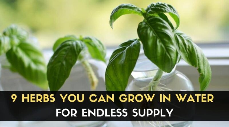 Herbs Can Grow In Water