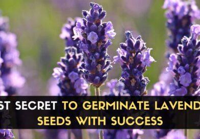 Germinate Lavender Seeds