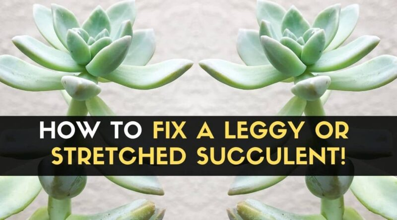 Fix a Leggy or Stretched Succulent
