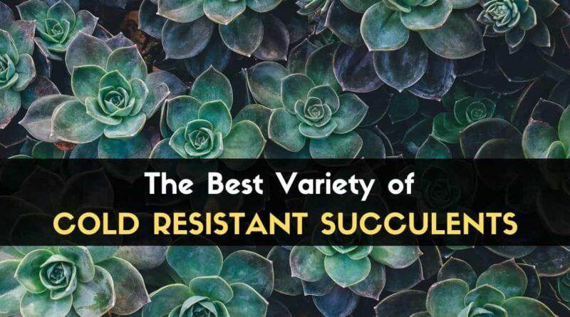 Cold Resistant Succulents