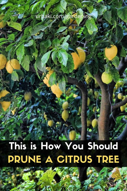 Prune a Citrus Tree