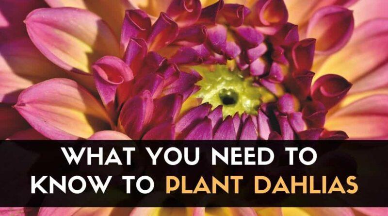 Plant Dahlias