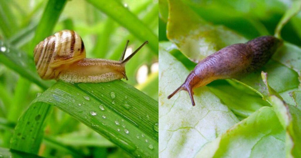 Control Snails and Slugs