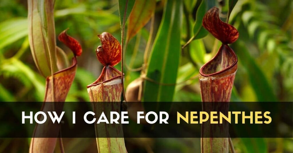 Pitcher Plant_Nepenthes