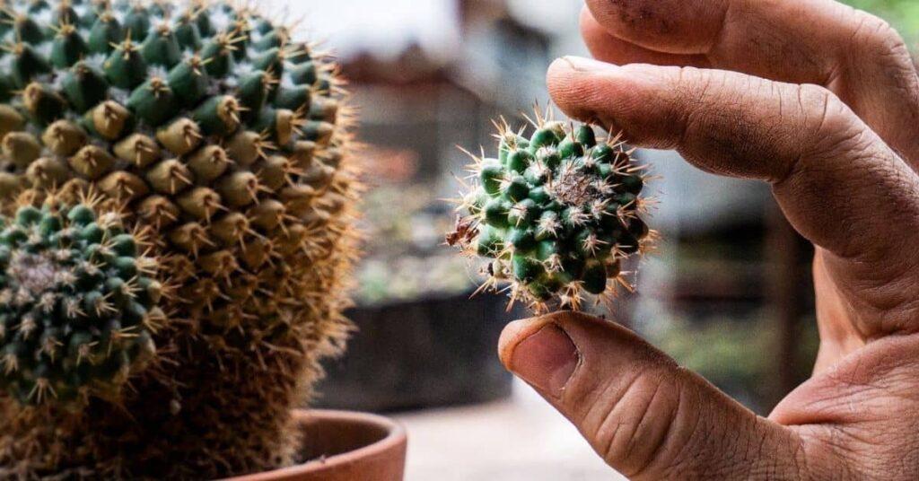Grow Baby Cactus