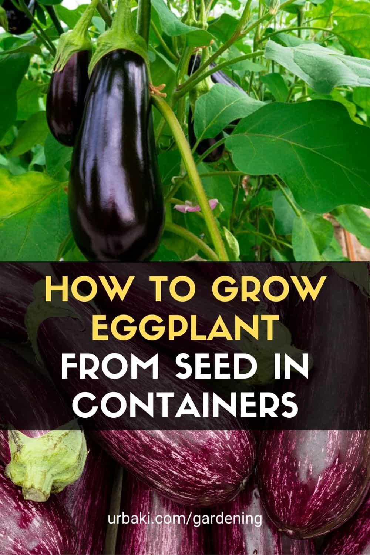 Grow Eggplant