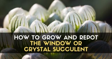 Window or Crystal Succulent