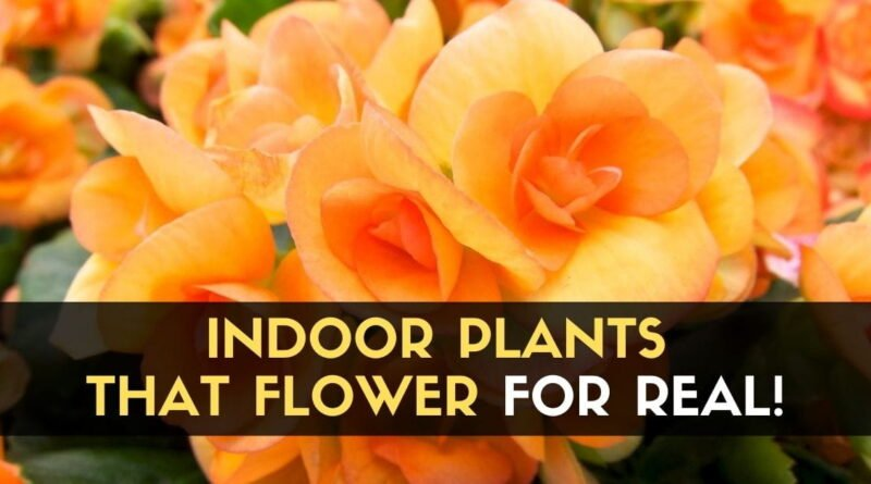 Indoor Plants that Flower