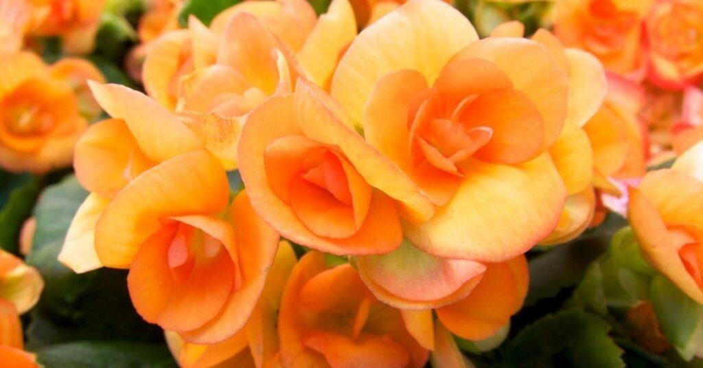 Indoor Plants that Flower