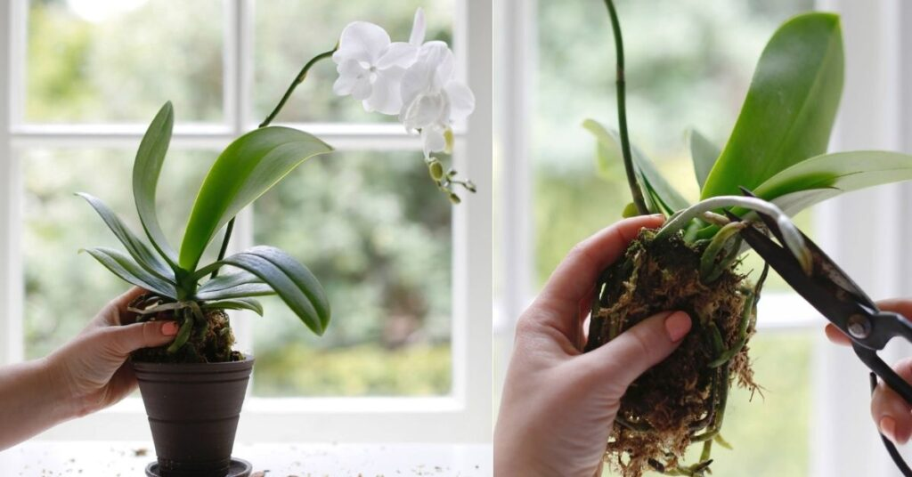 Transplant an Orchid