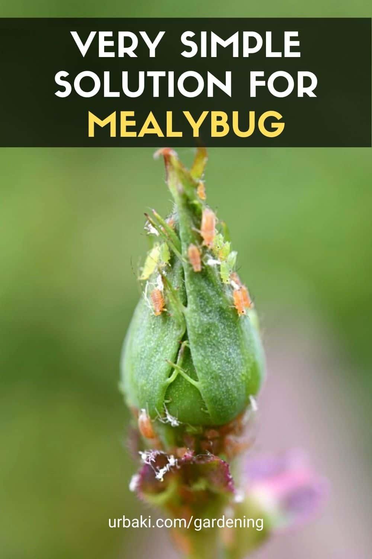 Solution for Mealybug