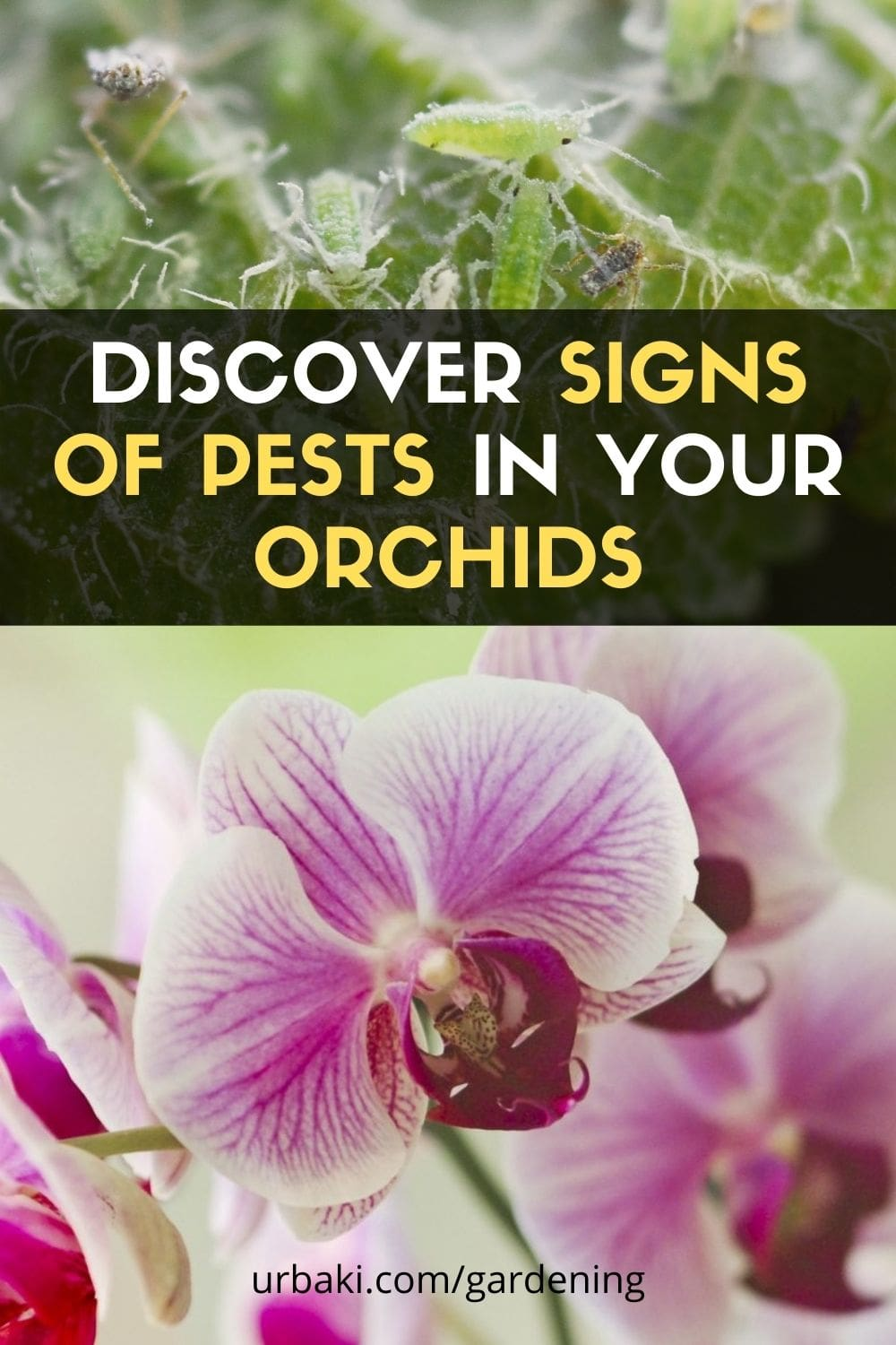 Pests Orchids
