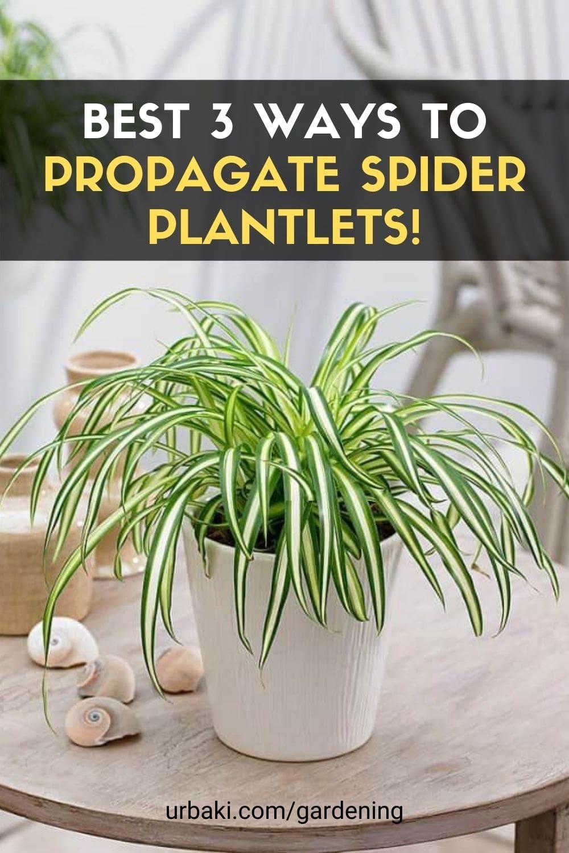 Propagate Spider Plantlets
