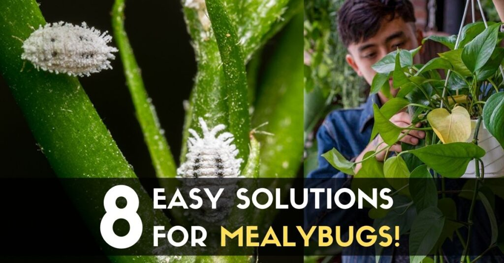 Solutions for MealyBugs