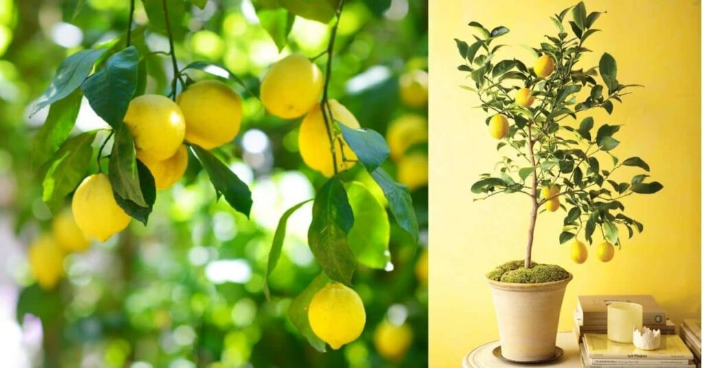LEMON TREE From A SEED
