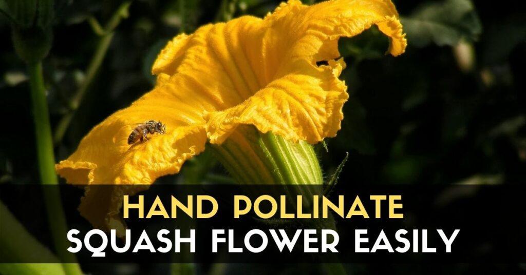 Pollinate Squash