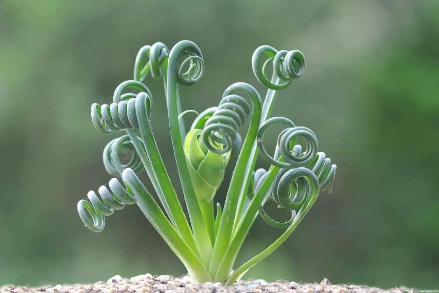 Frizzle Sizzle Plant