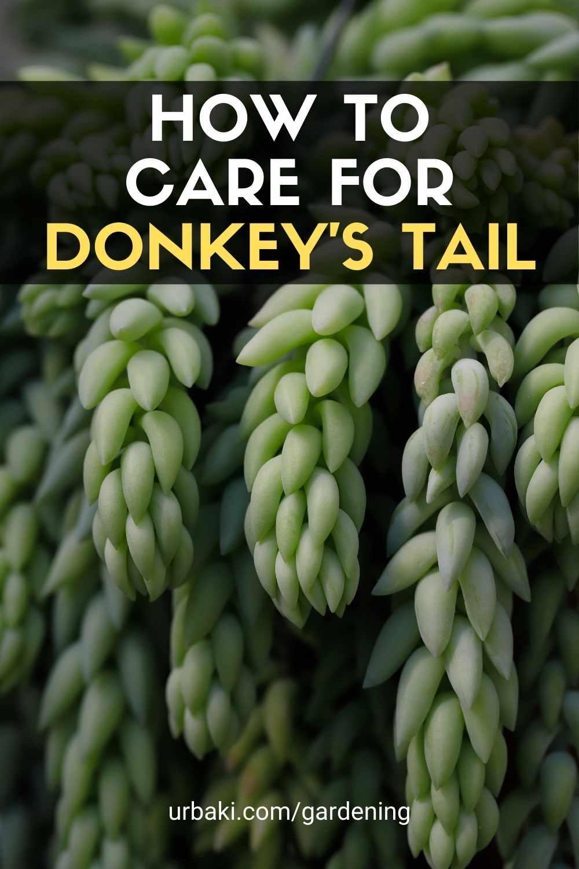 Donkey's Tail