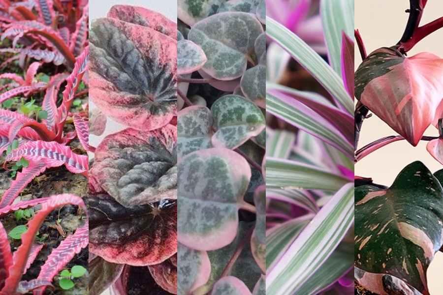 5 Pink Houseplants
