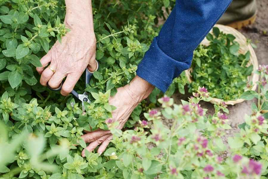 Methods for Pruning Herbs