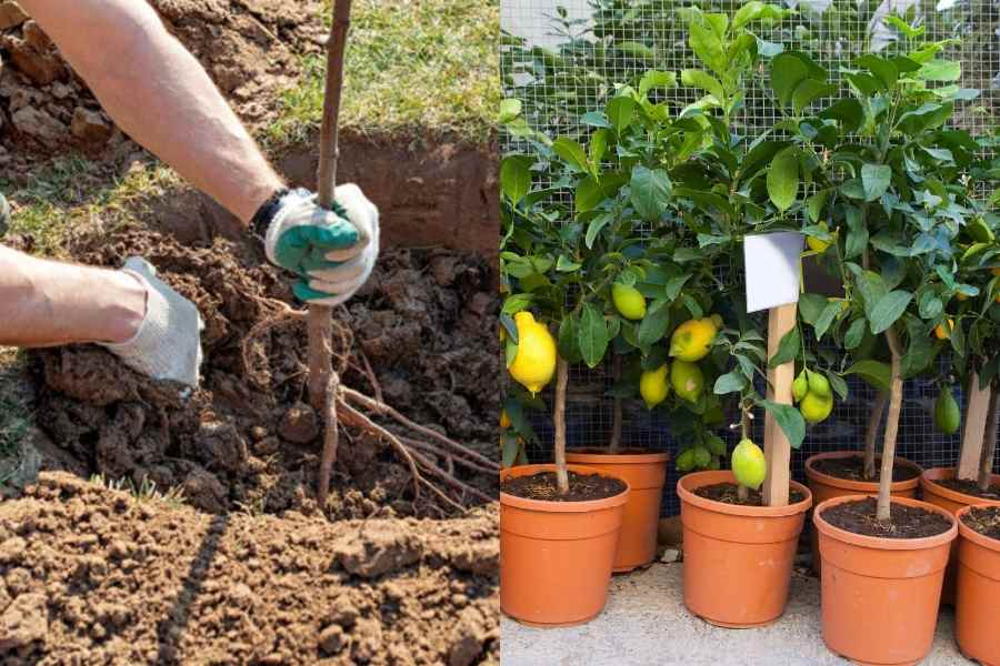 Bare Root vs. Potted Fruit Trees
