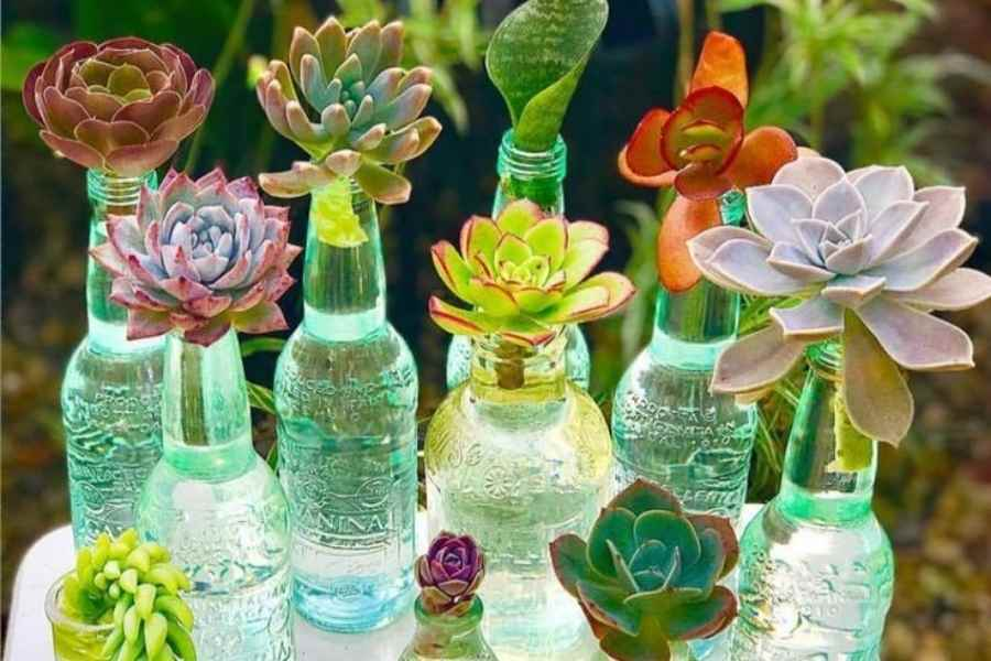 Propagation of Succulents in Water