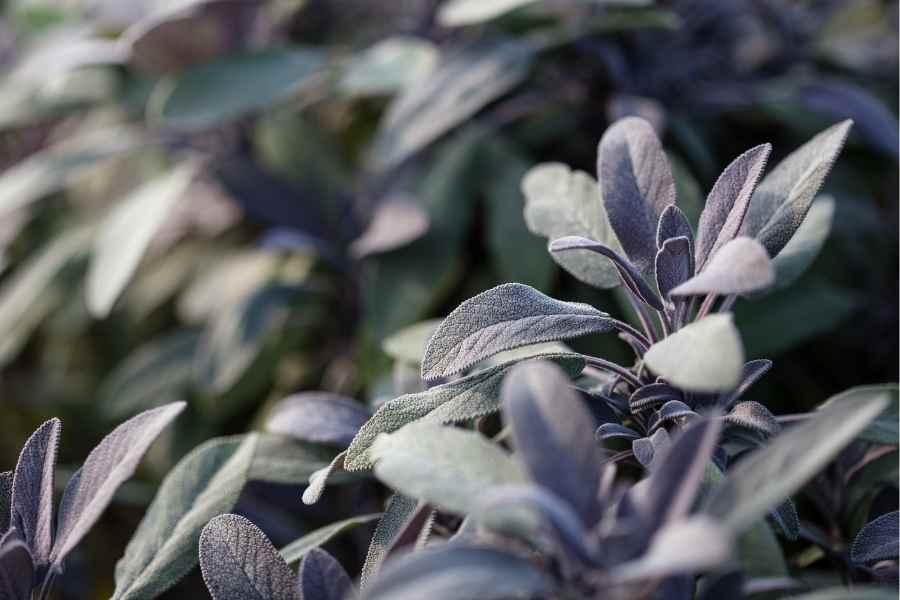 Drying and Propagating Sage (1)
