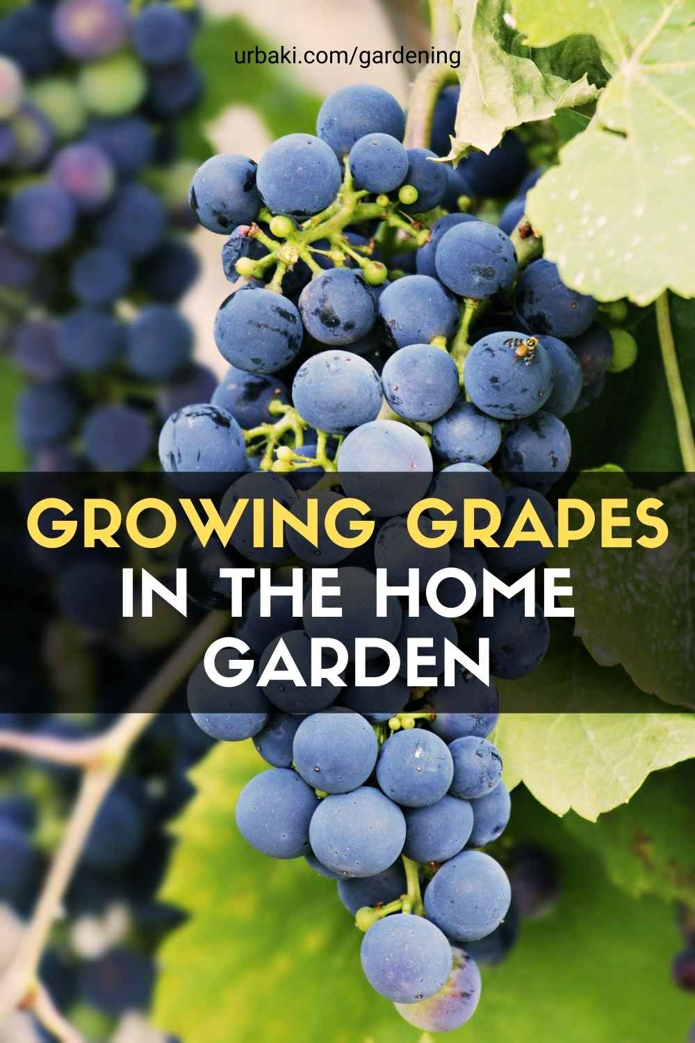 Growing Grapes