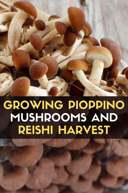 Growing Pioppino Mushrooms and Reishi